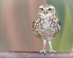 Little burrowing owl perched on a log