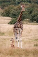 Baby and adult giraffe