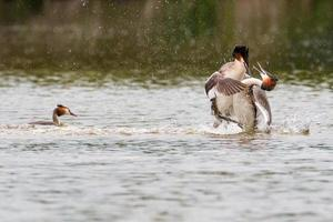 Great Crested Grebes fight
