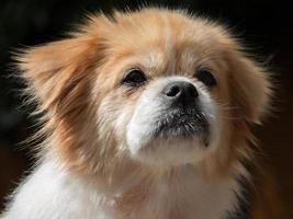 Retrato de un perro de aguas tibetano