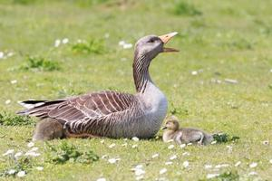 Mother goose and babies