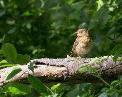 Juvenile robin on a branch