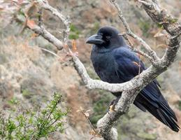 Raven perched on tree branch