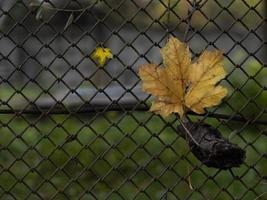 Two maple leaves on a fence