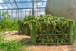Crate full of weeds in a greenhouse