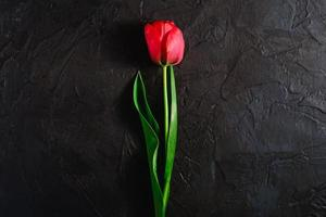 Single red tulip flower on textured black background