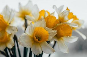 Bouquet of spring daffodils