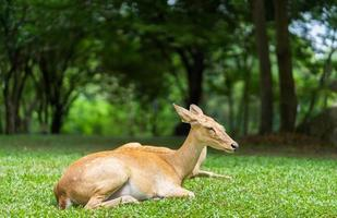 Antelope laying in nature