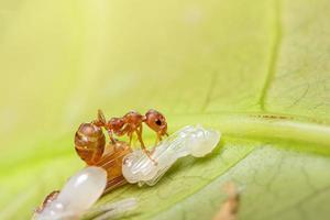 macro hormiga roja en larvas