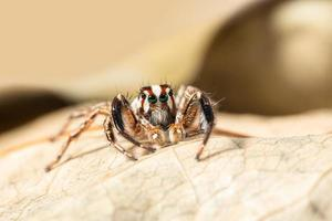Macro brown jumping spider