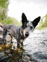 Hund in einem Fluss in Colorado foto