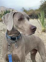 Weimaraner standing with a leash on in a park