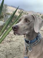 Weimaraner sitting down with a leash on  photo