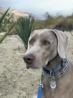 Weimaraner with a leash on in a park photo