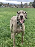 Weimaraner playing  in the grass