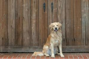 Golden Retriever sitting on a step outside