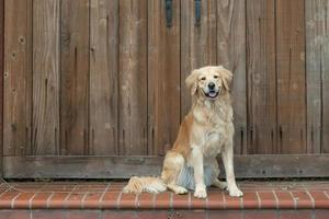Well-behaved Golden Retriever sitting on a step