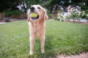 A Golden Retriever playing with a tennis ball outside