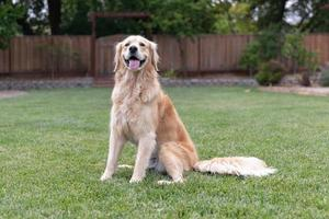 Golden Retriever sitting on the lawn outside