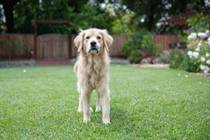 Golden Retriever standing on the lawn outdoors