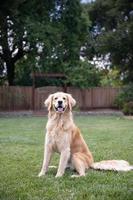 Golden retriever sentado en el césped afuera foto