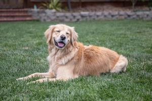 Golden Retriever sitting on the grass in a yard