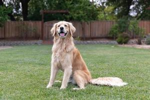 Golden Retriever sitting in the grass outside
