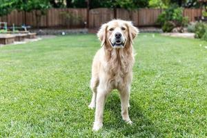 Golden Retriever standing in the grass outside