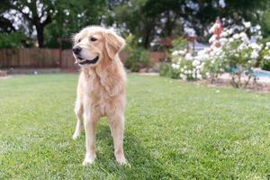 Golden Retriever standing in the grass