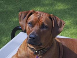 Rhodesian Ridgeback relaxing outside.