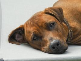 Rhodesian Ridgeback resting on a chair