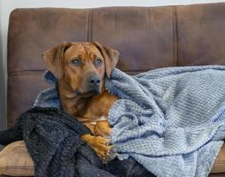 Rhodesian Ridgeback resting on sofa underneath blankets