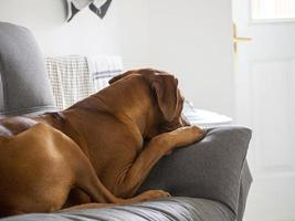 Rhodesian Ridgeback resting on sofa with paw up