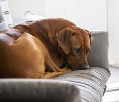 Rhodesian Ridgeback resting on sofa