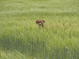 Rhodesian Ridgeback playing outside in grass