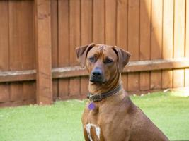 Rhodesian Ridgeback sitting obediently outside