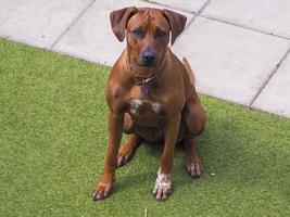 Rhodesian Ridgeback sitting obediently outdoors