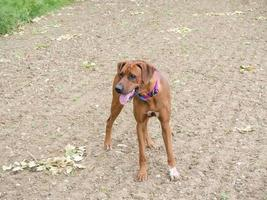 Rhodesian Ridgeback playing outside