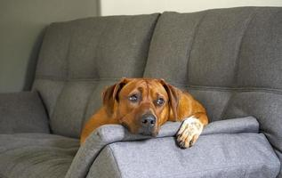 Rhodesian Ridgeback laying on a sofa indoors