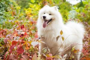 Samoyed outdoors with tongue out photo