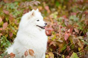 Samoyed sitting outdoors in the park photo
