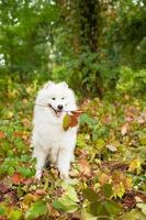 Samoyed with twig in its mouth
