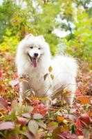 Samoyed outdoors in the leaves