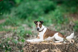 Smooth Fox Terrier sitting on a stump photo