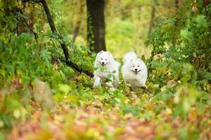 Samoyeds outdoors in the park photo