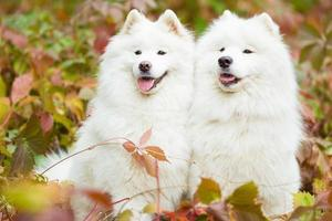 Samoyeds posing for a portrait