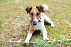 Smooth Fox Terrier sitting beside a stick photo