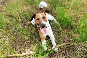 Smooth Fox Terrier playing with a stick.