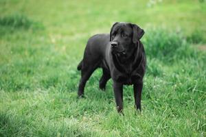 Black Labrador Retriever in the grass