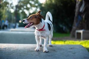 Jack Russell Terrier buiten te wachten